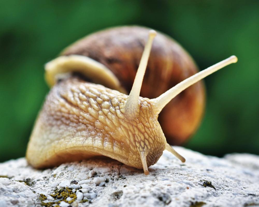 how long do snails sleep snail